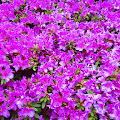 5月の花,花壇,東中野〈著作権フリー無料画像〉Free Stock Photos