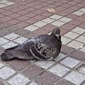 鳩,鳥,渋谷,ハチ公前〈著作権フリー無料画像〉Free Stock Photos