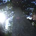 大樹,ニュージーランド〈著作権フリー無料画像〉Free Stock Photos