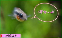 にほんブログ村 観賞魚ブログ アピストへ