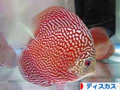 にほんブログ村 観賞魚ブログ ディスカスへ