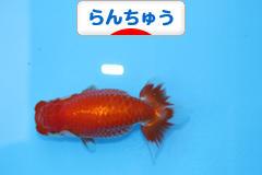 にほんブログ村 観賞魚ブログ らんちゅうへ