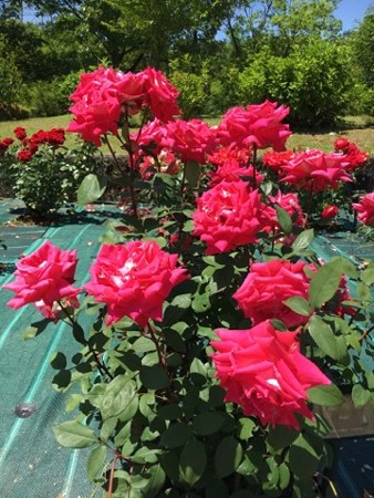 RoseFair04