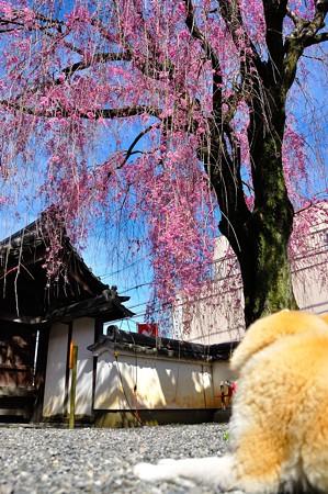 きなこちゃんと桜