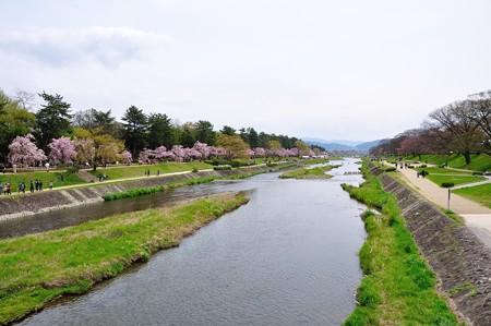 賀茂川の桜(北大路橋からの眺め)