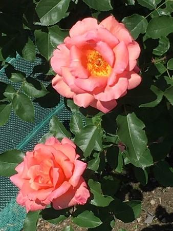 RoseFair18