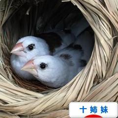 にほんブログ村 鳥ブログ 十姉妹へ