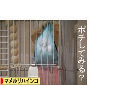 にほんブログ村 鳥ブログ マメルリハインコへ
