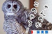 にほんブログ村 鳥ブログ 猛禽類へ