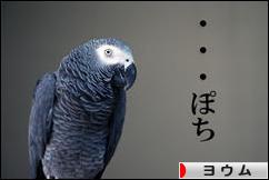 にほんブログ村 鳥ブログ ヨウムへ
