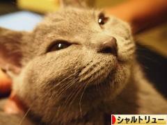 にほんブログ村 猫ブログ シャルトリューへ