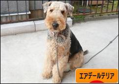にほんブログ村 犬ブログ エアデールテリアへ