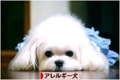 にほんブログ村 犬ブログ アレルギー犬へ