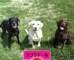 にほんブログ村 犬ブログ ラブラ ドールへ