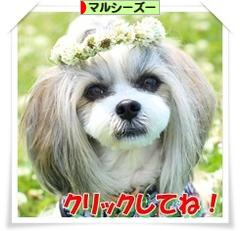にほんブログ村 犬ブログ マルシーズーへ