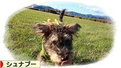 にほんブログ村 犬ブログ シュナプーへ