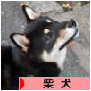 にほんブログ村 犬ブログ 柴犬へ