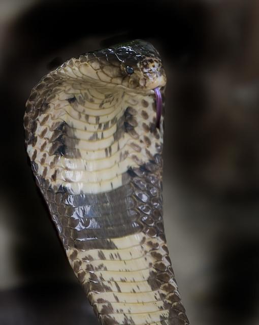 Cobra (Naja kaouthia)
