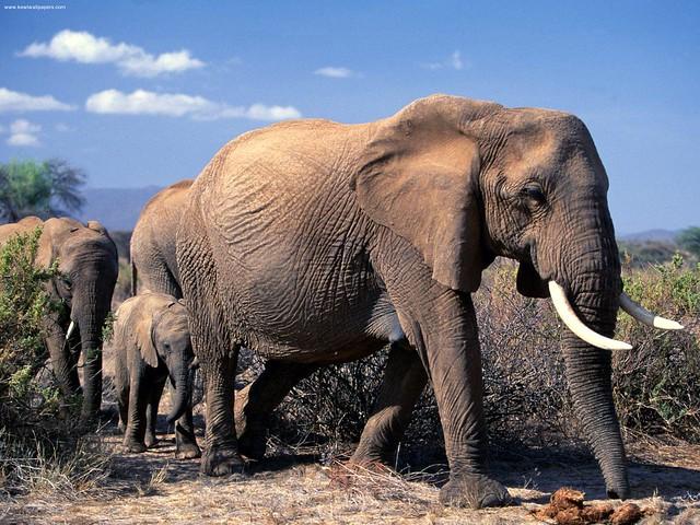 African Elephants-Africa