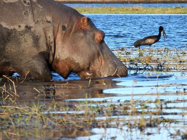 Hippo and Bird