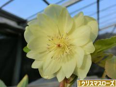 にほんブログ村 花・園芸ブログ クリスマスローズへ