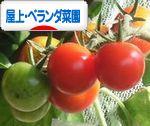 にほんブログ村 花・園芸ブログ 屋上・ベランダ菜園へ