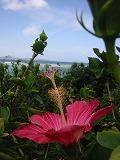 ハイビスカスと美ら海