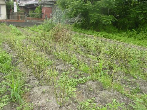 乾燥そら豆