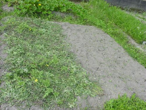 除草後スイカ畑