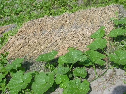 マッカウリ畑