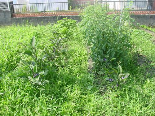 草ボウボウのナス畑