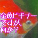 金魚ビギナーですが、何か?バナー1