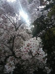 2016年 服部緑地公園の桜