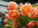 ●予約新苗● ボルデュールアブリコ (Del橙色) 国産苗 新苗 ● 【デルバール】 【バラ苗】※6月中旬頃までにお届けの予約新苗 《Han-DEL》