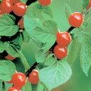 ■良品果樹苗■赤実ユスラウメ5号ポット